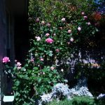 Roses, Bees, and a Garage Update