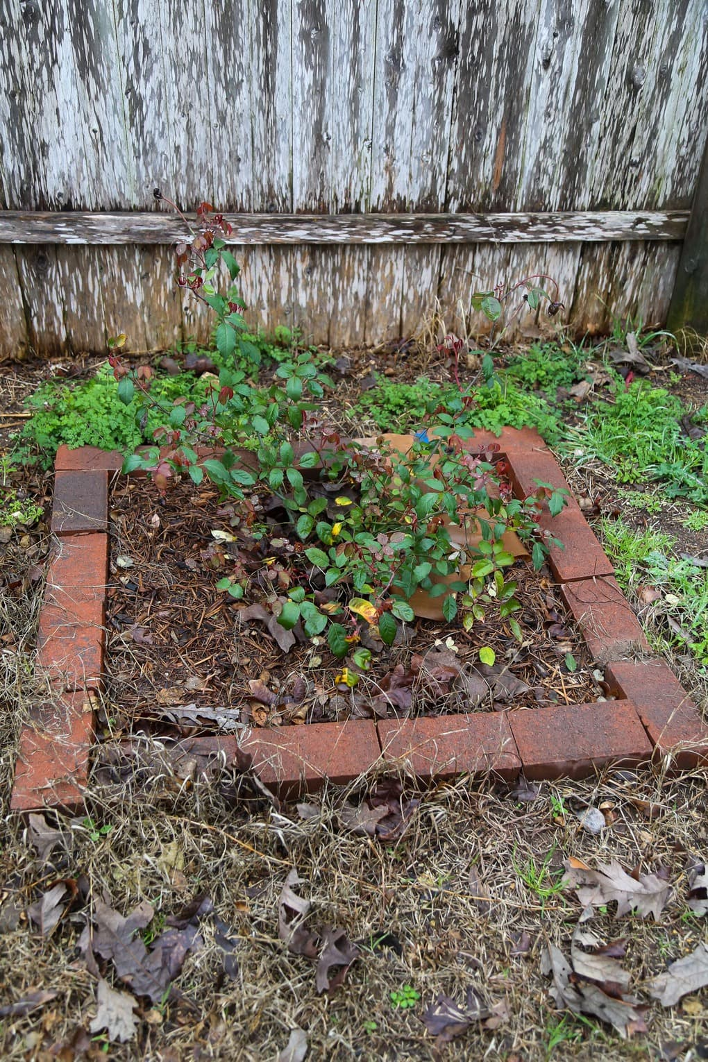 Small rose bush