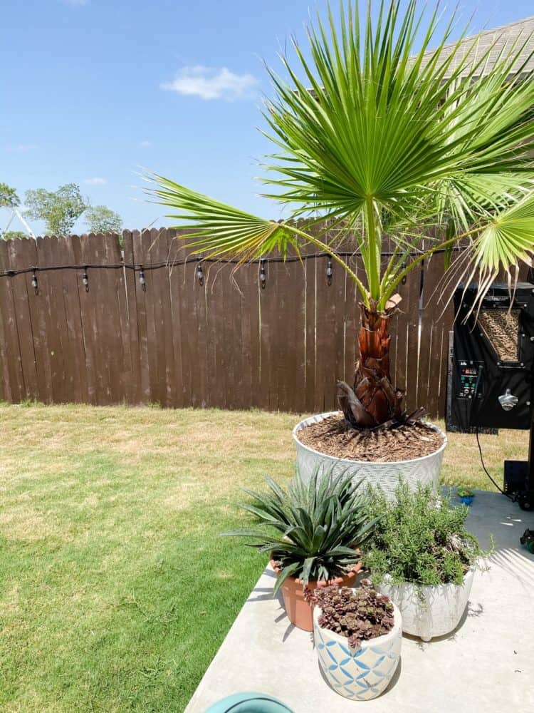 potted Mexican fan palm